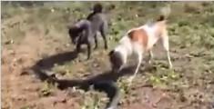 泰国忠犬首尾夹击眼镜蛇 只为守护主人
