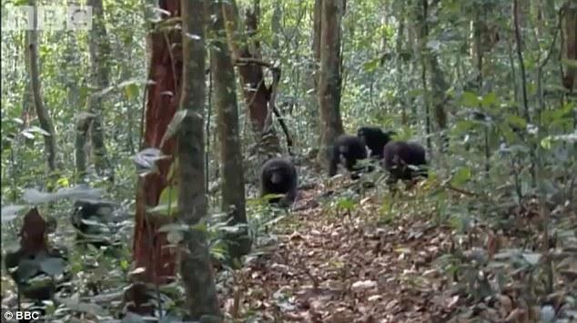 触目惊心!非洲大猩猩分食母子二猴