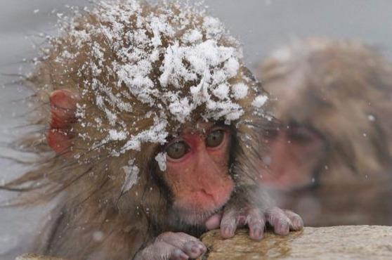 """日本动物园因""""基因不纯""""杀死57只猴子"""
