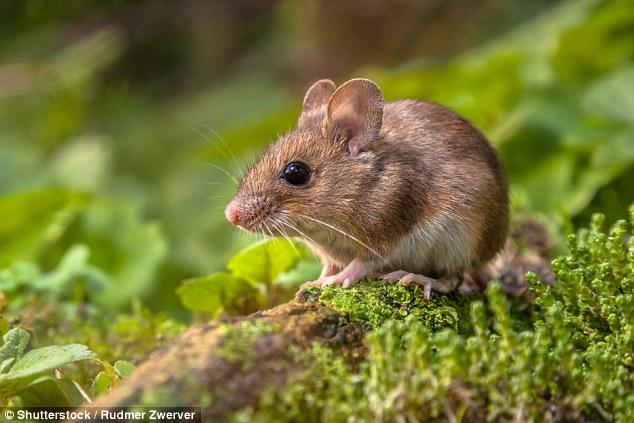 """""""冥想鼠""""帮助人类发现冥想真的能降低焦虑"""