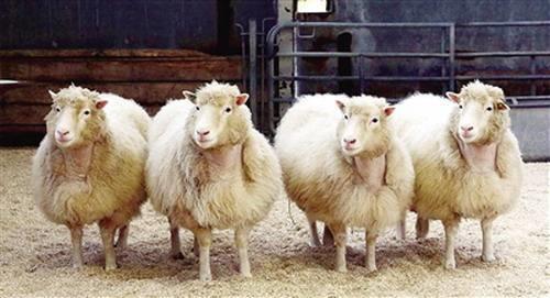 20年后:多莉克隆羊的四只姐妹将被安乐死