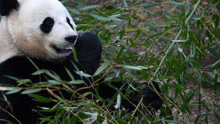 """探秘海归明星大熊猫""""宝宝""""的新家"""