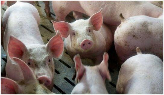"""研究:接受""""基因编辑""""家猪对传染病毒有免疫力"""