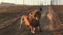 狮子每天挡在路中间 只为等待一个拥抱