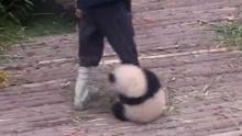 """网红大熊猫""""奇一""""粘人破天际 不爱竹子爱大腿"""