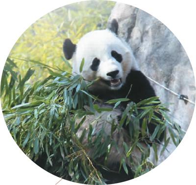 华盛顿国家动物园内吃竹子.