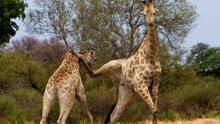 功夫长颈鹿争支配权使出无影脚