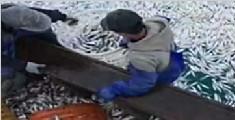 渔船作业遇鱼群浮出水面 白捡近万斤黄鱼