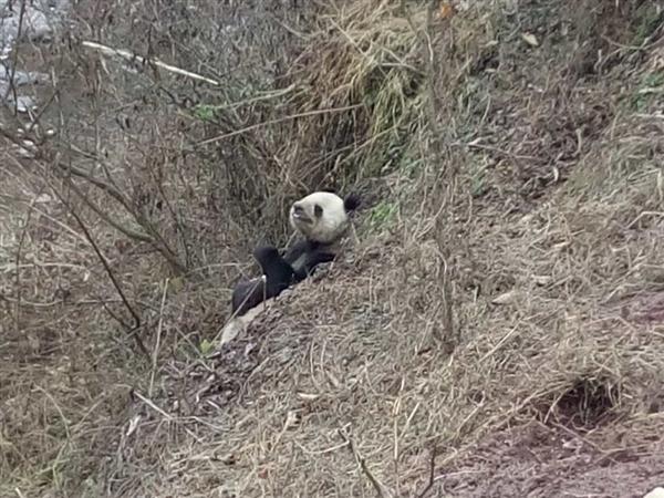 四川目击野生大熊猫下山:啃食村民山羊