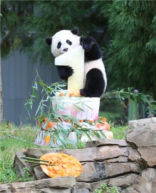 """旅美大熊猫""""宝宝""""回国 成长照片萌翻天"""