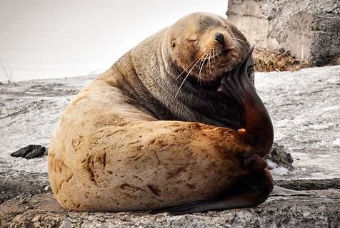 俄罗斯濒危物种北海狮圆滚滚憨厚可爱
