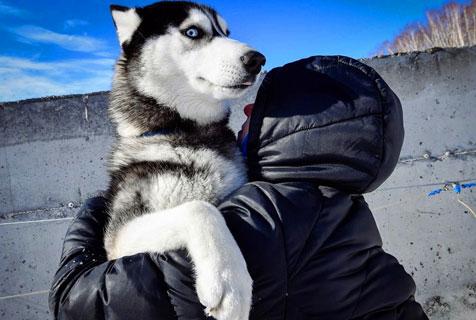 俄举办狗拉雪橇大赛 雪橇犬憨态百出