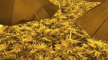 在英国地下核体发现大麻种植园