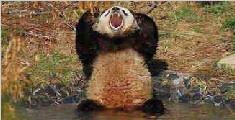 野生大熊猫下山开荤 疯狂啃食村民圈养山羊
