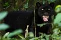 英摄影师与黑豹相处80分钟 拍罕见照片