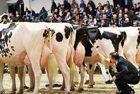 德国举办奶牛选美大赛