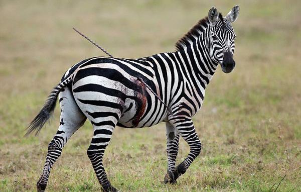 """""""马坚强""""!肯尼亚斑马被长矛刺穿身体仍淡定行走"""