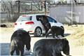八达岭野生动物园自驾车开窗引熊袭