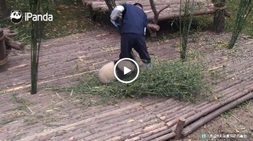 大熊猫抱大腿走红 熊猫保姆工作内幕被曝光