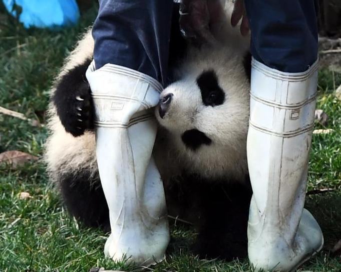"""大熊猫""""奇一""""抱大腿成网红 萌翻众粉丝"""