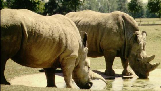 南非上千犀牛去年遭捕杀 买家大多来自中越