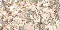 500亩樱花盛开