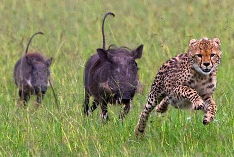 囧!南非猎豹偷袭不成反被疣猪追赶