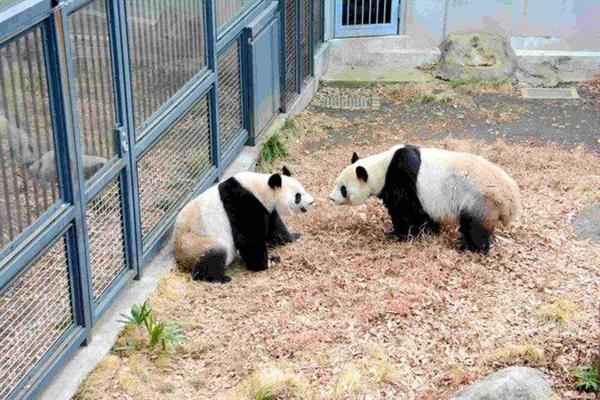 旅日大熊猫嘿咻52秒:旁边餐厅股价暴涨
