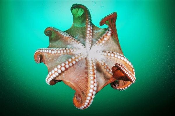 盘点章鱼超怪异事实:3个心脏/9个大脑