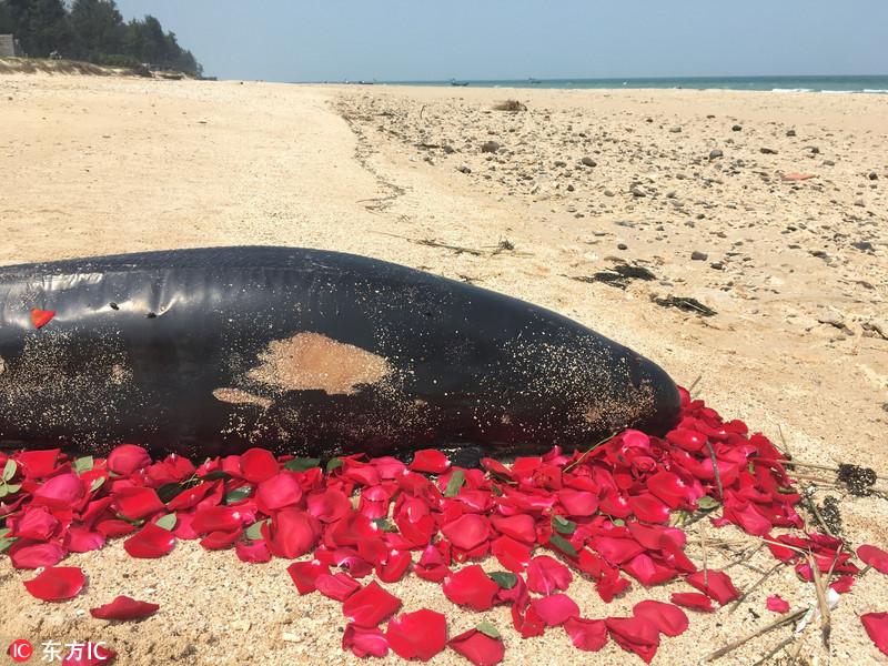 广西涠洲岛海滩一海豚死亡 游客撒花默哀