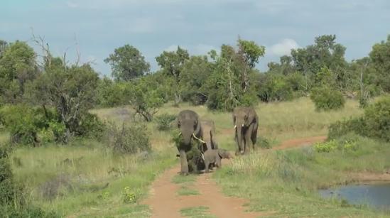 失眠还是不敢睡?研究称野生大象每天只睡2小时