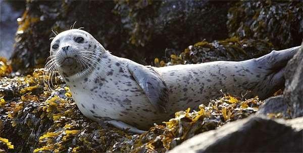 见小海豹海滩搁浅 女子好心救回家结果悲剧