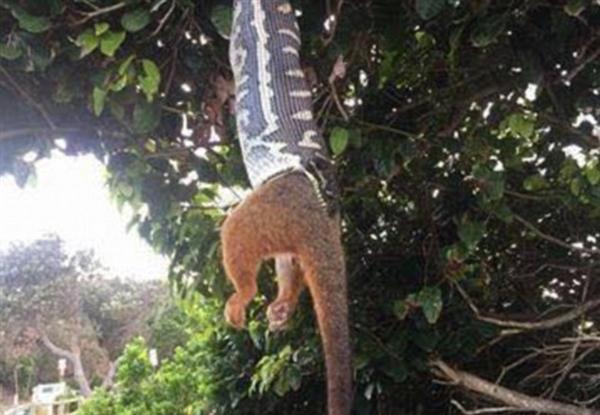 巨蟒倒挂树枝生吞大负鼠 画面不忍直视