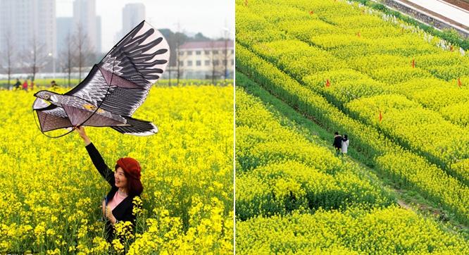 武汉中心城区现金色花海 大学油菜花试验基地吸引市民赏花