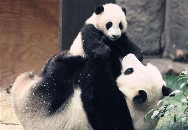 熊猫为何是黑白色?这个生物学难题终于解开