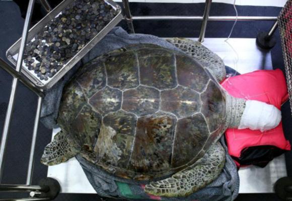 """泰国海龟误食许愿池硬币 医生为其""""洗胃"""""""