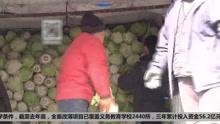 一冬过后 千万斤白菜滞销