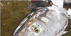 日本渔民捕获892斤金枪鱼 体长近3米卖出18万元