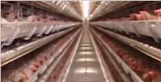 美田纳西州暴发禽流感 超7万只鸡将被扑杀