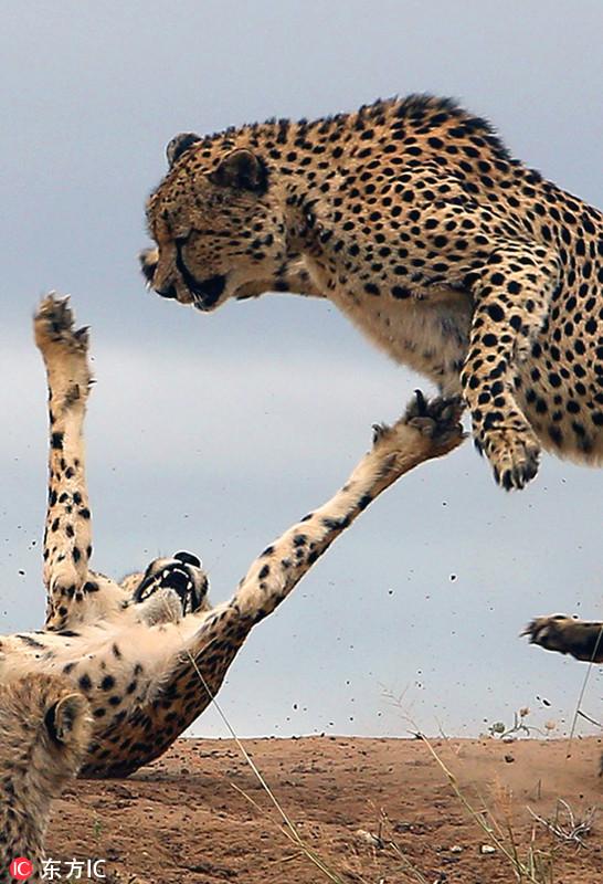 动物保护中心旅行时拍到震撼一幕,一只护犊心切的猎豹妈妈为保护幼崽