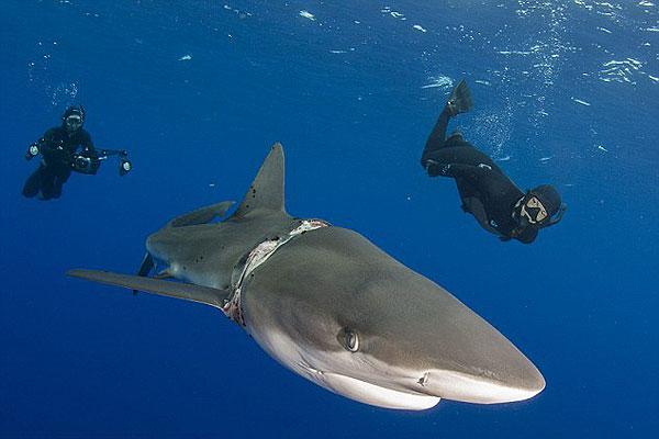 勇气可嘉!巴哈马潜水者海底解救被束白鲨