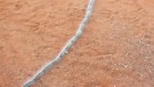 整齐划一 澳洲190只毛毛虫排成一条线集体觅食