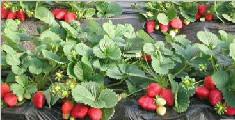 儿童吃草莓感染诺如病毒
