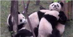 最好的爱是手放开!熊猫妈妈紧抱熊孩子不撒手