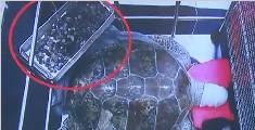 海龟误食许愿池硬币 医生为其手术取出915枚