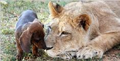 美国雄狮与腊肠犬形影不离 公然互吻秀恩爱