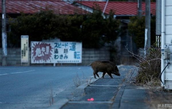 日本解封福岛核辐射重污染区:野猪变异 画面吓人