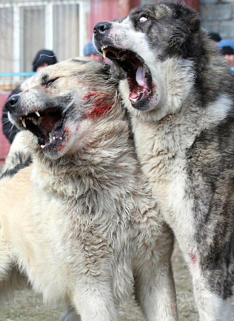 吉尔吉斯斯坦牧羊犬为血统展开血腥搏斗