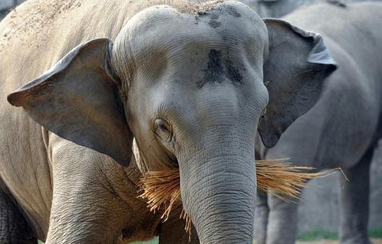 日本一动物园大象怒甩鼻子致使一饲养员死亡