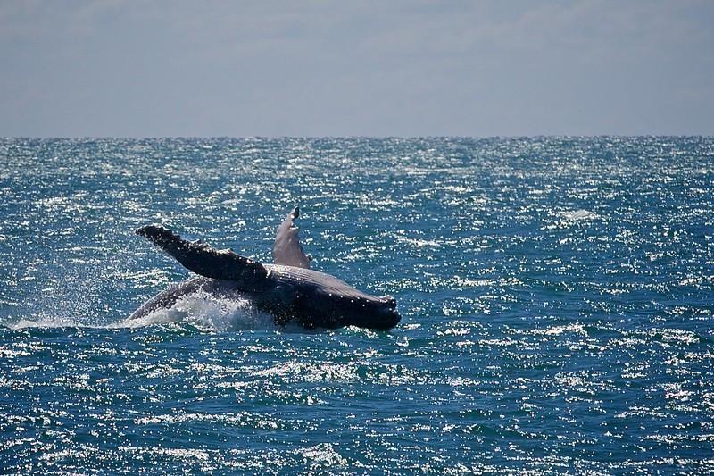 200多头座头鲸集群南非海岸 专家:可能在社交